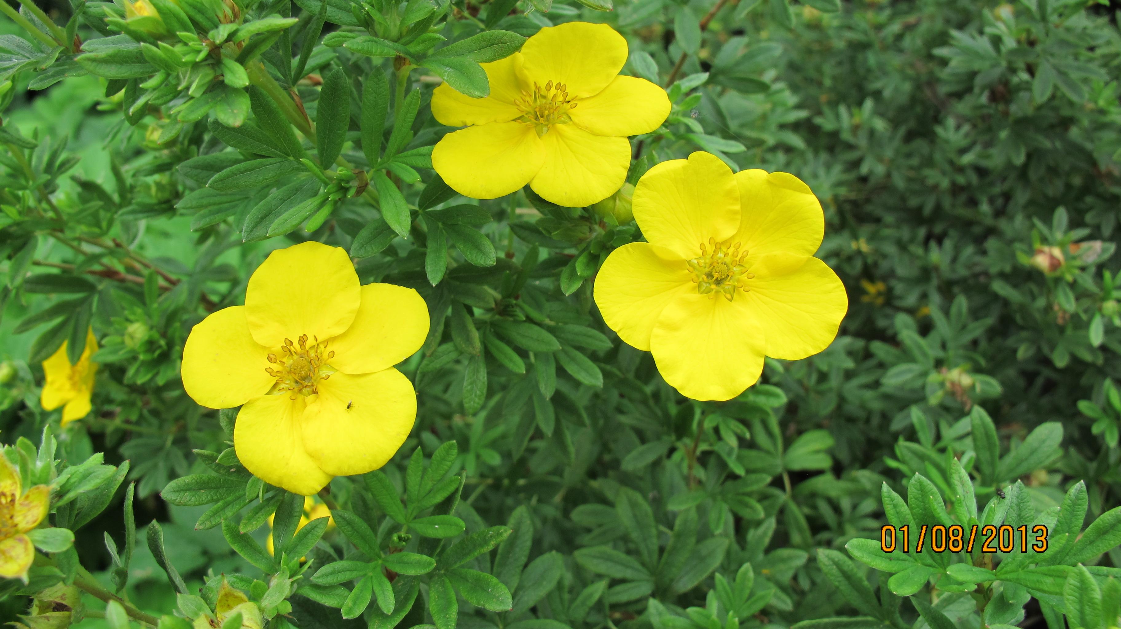 Курильский чай фото цветов